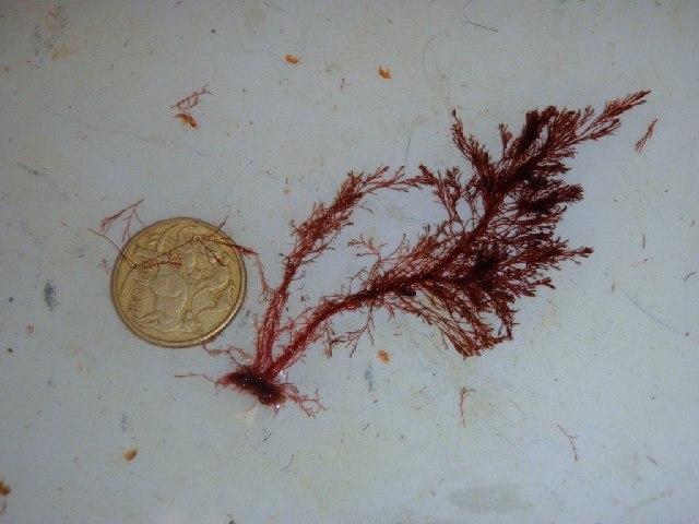 Image of <i>Polysiphonia</i>