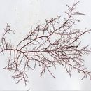 Image of <i>Naccaria wiggii</i>