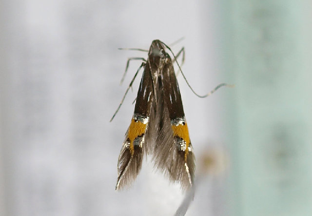 Image of <i>Cosmopterix scribaiella</i> Zeller 1850