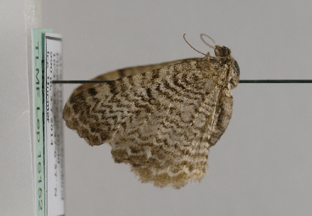 Image of Scallop Shell Moth