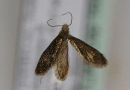 Image of <i>Dyseriocrania subpurpurella</i> Haworth 1828