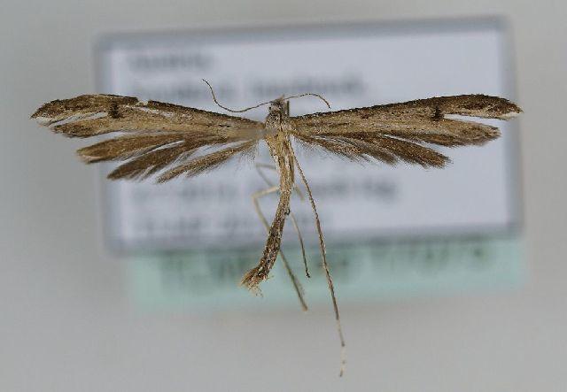 Image of <i>Stenoptilia plagiodactylus</i> Stainton 1851