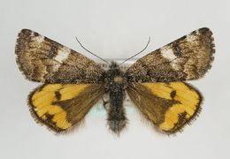 Image of <i>Archiearis parthenias</i> Linnaeus 1761