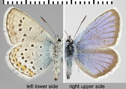 Image of Silver-studded Blue