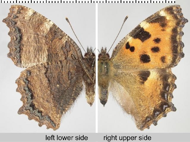 Image of Large Tortoiseshell