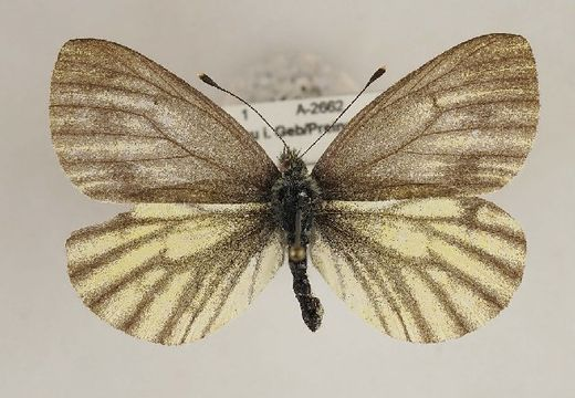 Image of <i>Pieris bryoniae</i> (Hübner (1806))