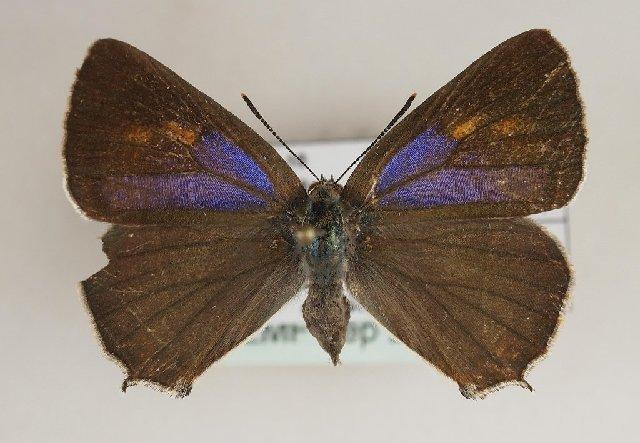 Image of <i>Favonius quercus</i>