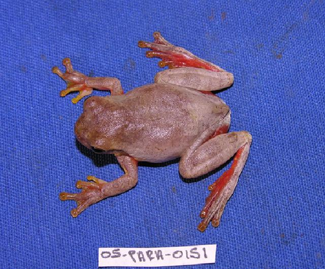 Image of hylid frogs