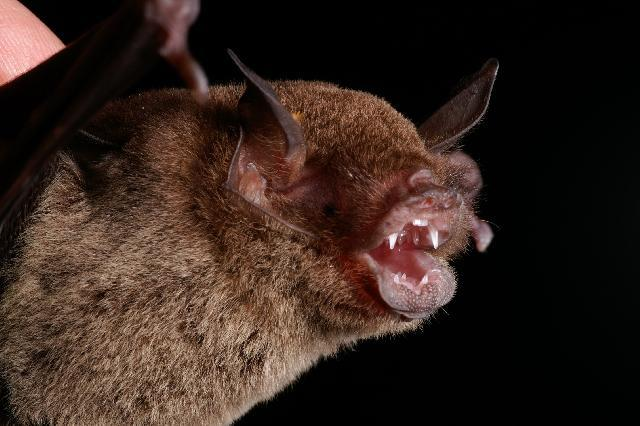 Image of Common Mustached Bat