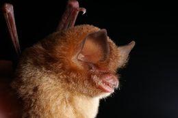 Image of Gray's Funnel-eared Bat