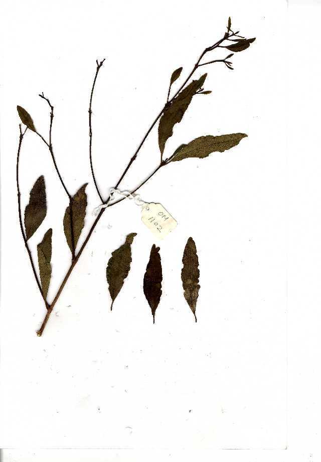 Image of Diamond-leaved euclea