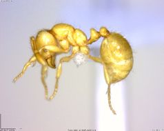 Image of Solenopsis
