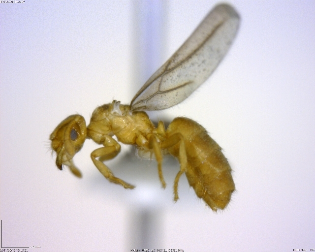 Image of Acropyga