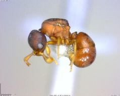 Image of Discothyrea