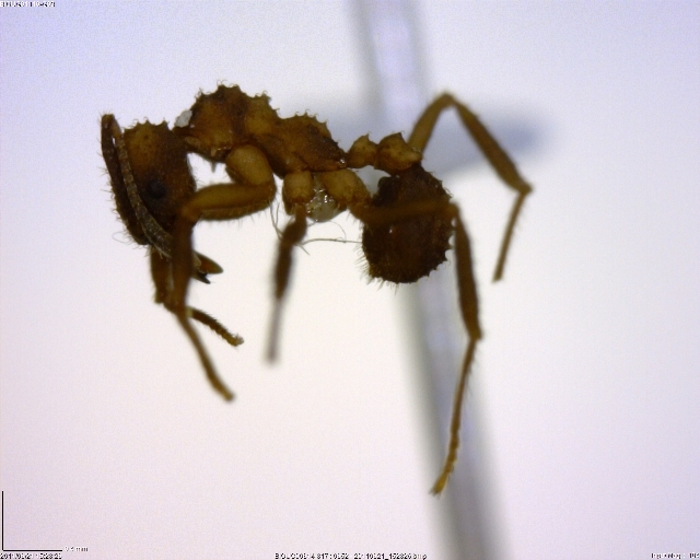 Image of Trachymyrmex