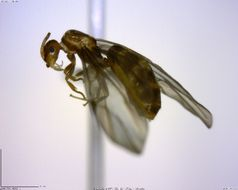 Image of Brachymyrmex