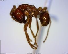 Image of <i>Labidus praedator</i> (Smith 1858)