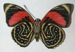 Image of Prepona