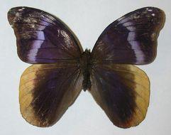 Image of <i>Catoblepia orgetorix</i> Hewitson 1870