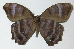 Image of <i>Pseudodebis celia</i>