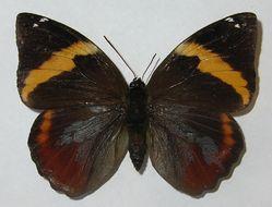 Image of <i>Opsiphanes invirae</i> Hübner 1818