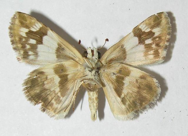 Image of Heliopyrgus