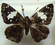 Image of <i>Celaenorrhinus collinsi</i>