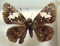 Image of <i>Celaenorrhinus plagiatus</i> Berger 1976