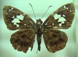 Image of <i>Celaenorrhinus maesseni</i> Berger 1976