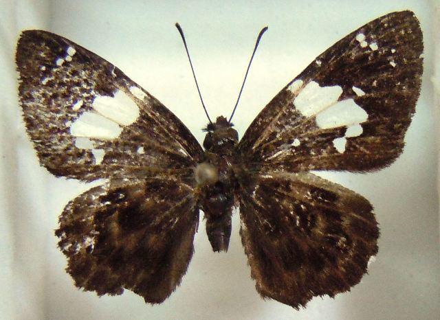 Image of <i>Celaenorrhinus proxima</i> Mabille 1877