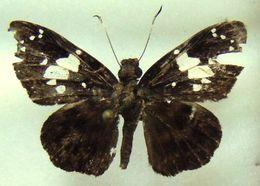 Image of <i>Celaenorrhinus imitans</i>