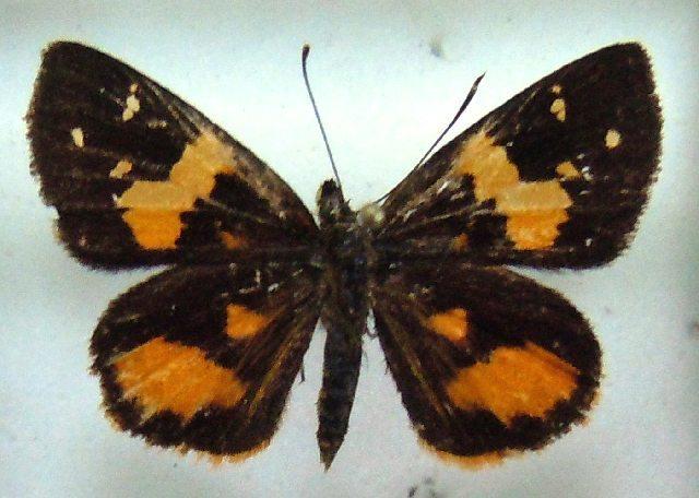 Image of Pardaleodes