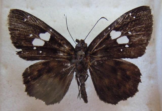Image of <i>Celaenorrhinus toro</i> Evans 1937