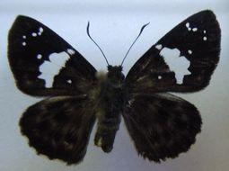 Image of <i>Celaenorrhinus dargei peteri</i>