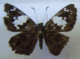 Image of <i>Celaenorrhinus elmina</i>