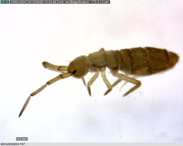 Image of Paronellidae