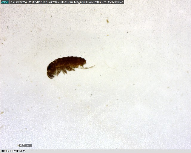 Image of water springtails