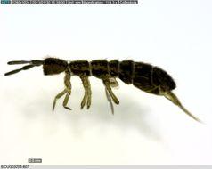 Image of <i>Isotoma riparia</i> (Nicolet 1842) Nicolet 1842