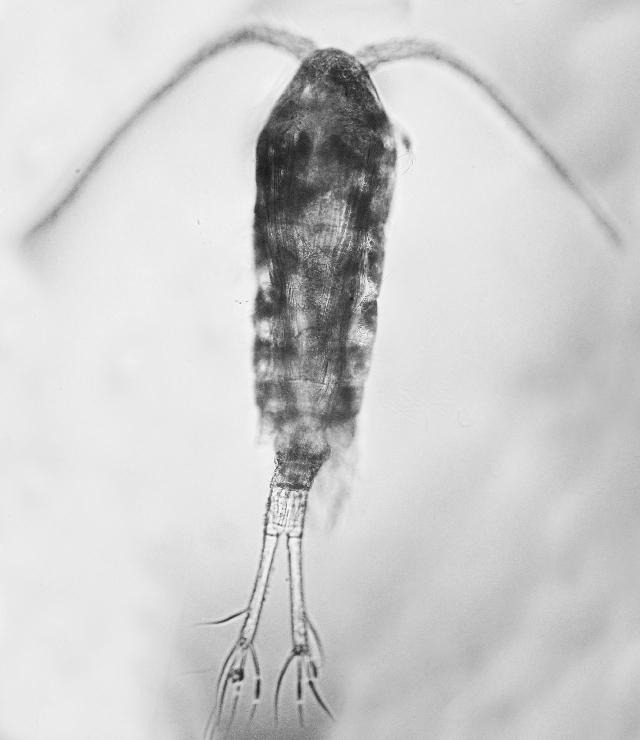 Image of Copepod