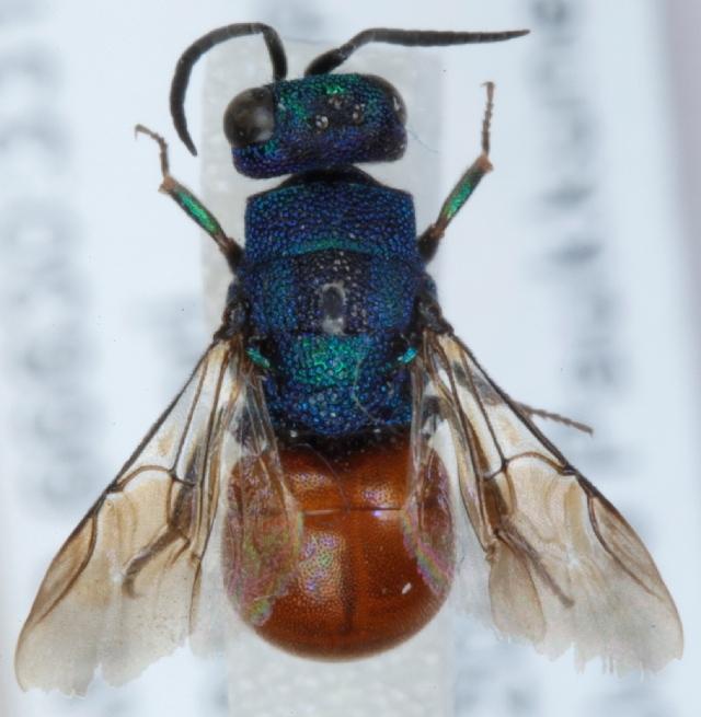Image of Hedychridium Abeille de Perrin 1878