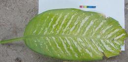 Image of <i>Aglaonema crispum</i> (Pitcher & Manda) Nicolson