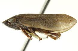 Image of <i>Lepyronia sordida</i> Stal 1864