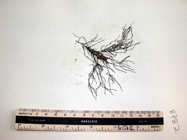 Image of <i>Ahnfeltia borealis</i>