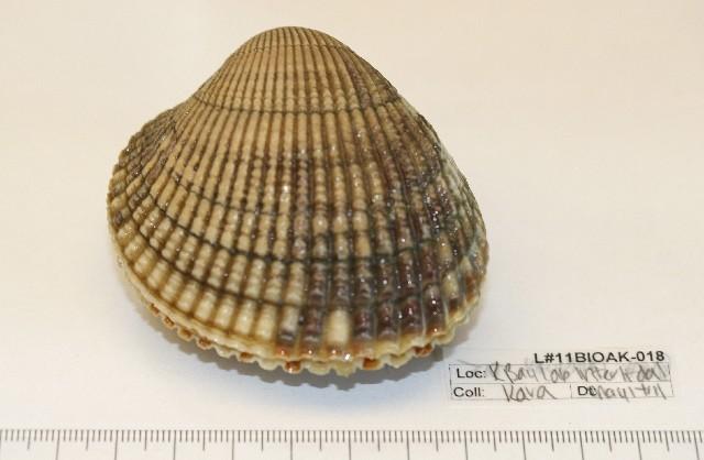 Image of <i>Clinocardium nuttallii</i> (Conrad 1837)