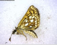 Image of Chequered Skipper