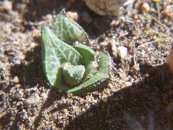 Image of <i>Haworthia venosa</i> ssp. <i>tessellata</i> (Haw.) M. B. Bayer