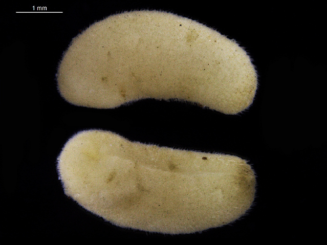 Image of Simrothiellidae