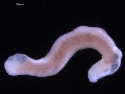 Image of Pholidoskepia