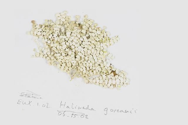 Image of <i>Halimeda goreauii</i>