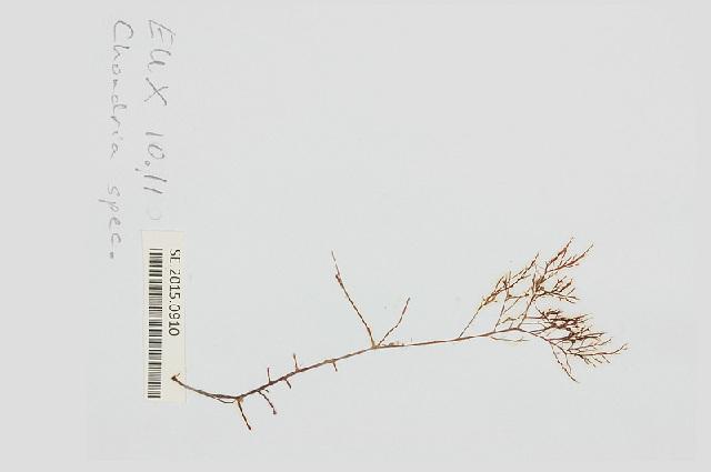 Image of <i>Chondria leptacremon</i> (Melvill ex G. Murray) De Toni 1903